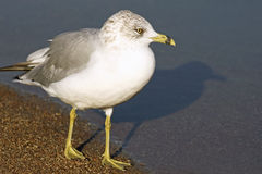 Ring-Billed Seagull standing along sandy shoreline of beach looking out towards water Stock Photos