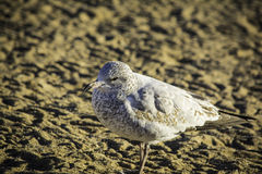 Ring-billed Seagull Stock Images