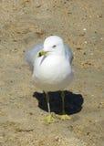 Ring Billed Seagull Walking Fotos de Stock Royalty Free