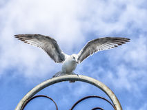 Ring-billed seagull with wings open. royalty free stock image