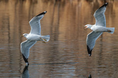 Ring-billed Seagulls in Flight Royalty Free Stock Photos