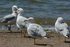 Ring Billed Seagulls On Sandy Lakeshore Royalty Free Stock Photos