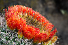 Ring of bright red barrel cactus flowers in Sabino Canyon. Royalty Free Stock Photos