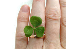 Ring and clover. Green clover with gold ring , representing hope Royalty Free Stock Images