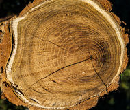 Ring in cutting log Stock Photography