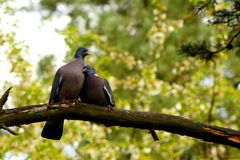 Ring-dove, pigeon, love Stock Photography