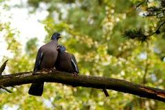 Ring-duif, duif, liefde Stock Fotografie