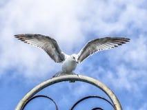 Ring-gefactureerde zeemeeuw met open vleugels Royalty-vrije Stock Afbeelding