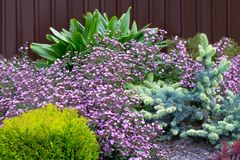 Fowering groundcover Gypsophila muralis on alpine hill.Ground cover plants for spring garden.Purple, yellow, blue, green color. Ring groundcover Gypsophila royalty free stock image