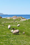 Ring of Kerry sheeps Royalty Free Stock Image