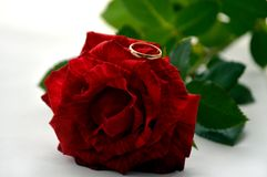 The ring lies on a red rose royalty free stock images