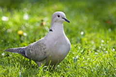 Ring neck or Collared Dove. Stock Photography