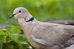 Ring neck or Collared Dove. Royalty Free Stock Image
