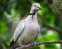 Ring Neck or Collared dove. Royalty Free Stock Photo
