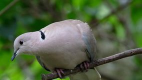 Ring Neck or Collared dove. stock video footage