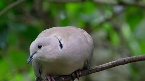 Ring Neck or Collared dove. stock video