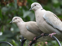 Ring Neck or Collared dove pair.. Royalty Free Stock Photography