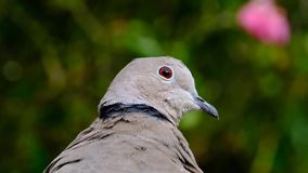 Ring Neck or Collared dove. Ring neck or Collared Dove in close up in house garden stock video footage