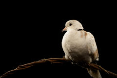 Ring Neck Dove Royalty Free Stock Photo