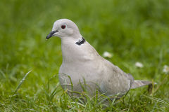 Ring neck Dove. Stock Photos