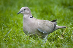 Ring neck Dove. Royalty Free Stock Images