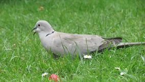 Ring Neck Dove feeding on house lawn. stock footage