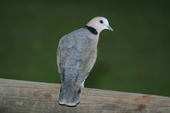 Ring neck Dove on a wooden pole. Ring neck dove sitting on a wooden pole against a green background Royalty Free Stock Image