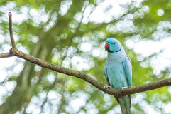 Ring neck Parrot Stock Photography