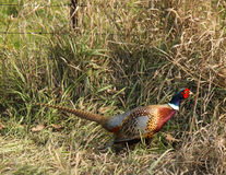 Ring-neck Pheasant Royalty Free Stock Images