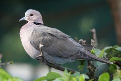 Ring-necked Dove Royalty Free Stock Photo