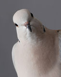 Ring necked Dove. Stock Images