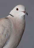 Ring necked Dove. Royalty Free Stock Images