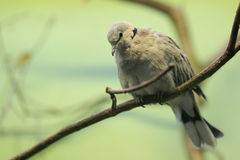 Ring-necked dove Stock Photography