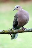Ring Necked Dove Royalty Free Stock Image