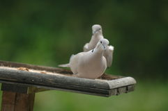 Ring necked dove Stock Photos