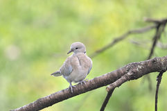 Ring necked dove baby Stock Photos