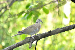 Ring necked dove baby isolated Stock Photography