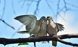 Ring-necked dove family Royalty Free Stock Photography
