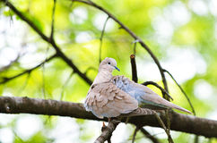 Ring-necked dove female  Stock Images