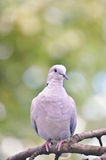 Ring-necked dove isolated Royalty Free Stock Photography