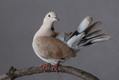 Ring-necked dove, male Royalty Free Stock Photos