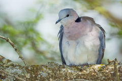 Ring-necked Dove Stock Image