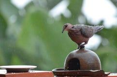 The ring-necked dove (Streptopelia capicola) Stock Images