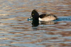 Ring-necked Duck Stock Photo