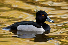 Ring-necked Duck (Aythya collaris) Stock Image