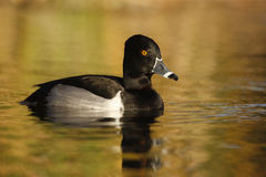 Ring-necked Duck, Aythya Collaris Stock Image