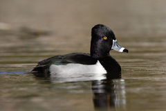 Ring-necked Duck, Aythya Collaris Stock Photography