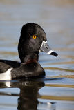 Ring-necked Duck, Aythya Collaris Royalty Free Stock Photos