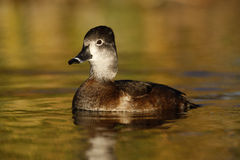 Ring-necked Duck, Aythya Collaris, Female Stock Photography