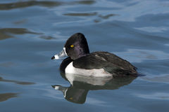 Ring-necked Duck Drake Royalty Free Stock Photos